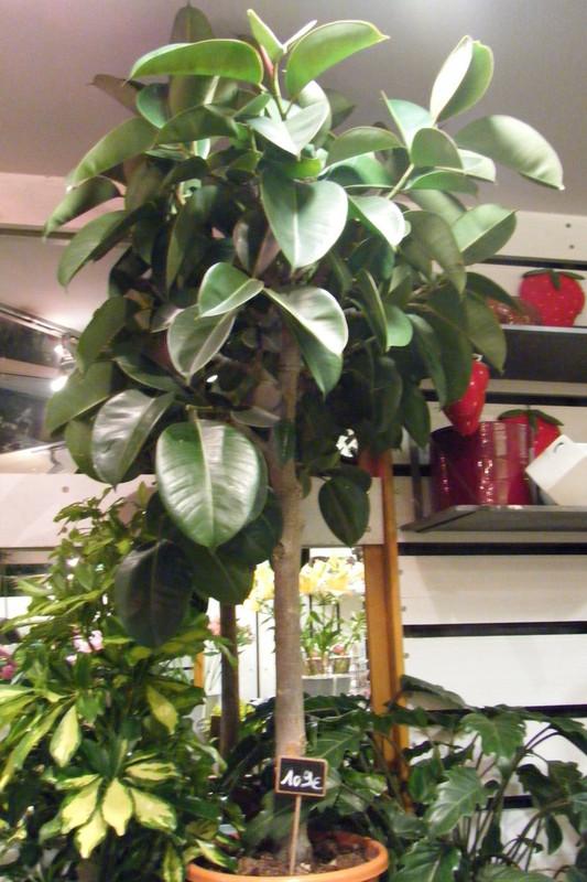 Plantes vertes florentine for Plantes a commander